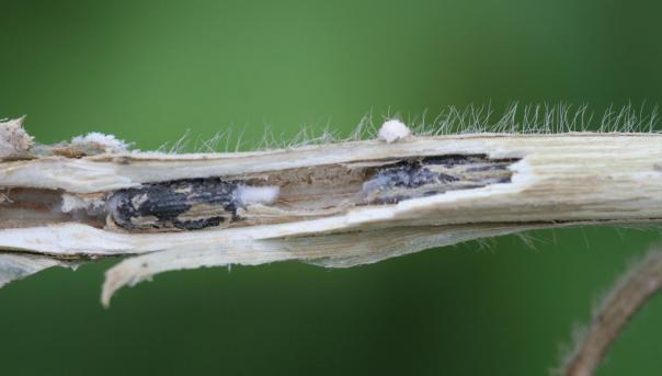 sclerotia inside stem